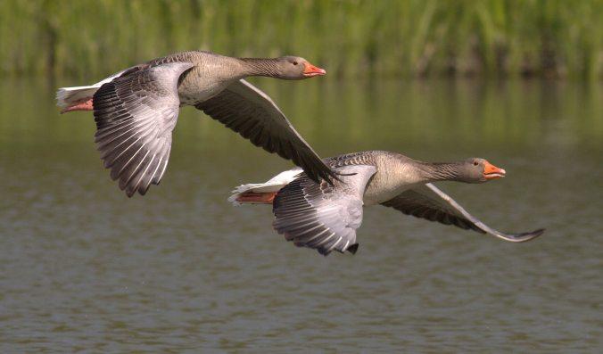 animals-birds-flight-53531