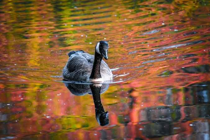 animal beak duck feathers