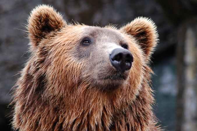 zoo bear