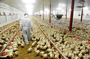 Kyllingfarm