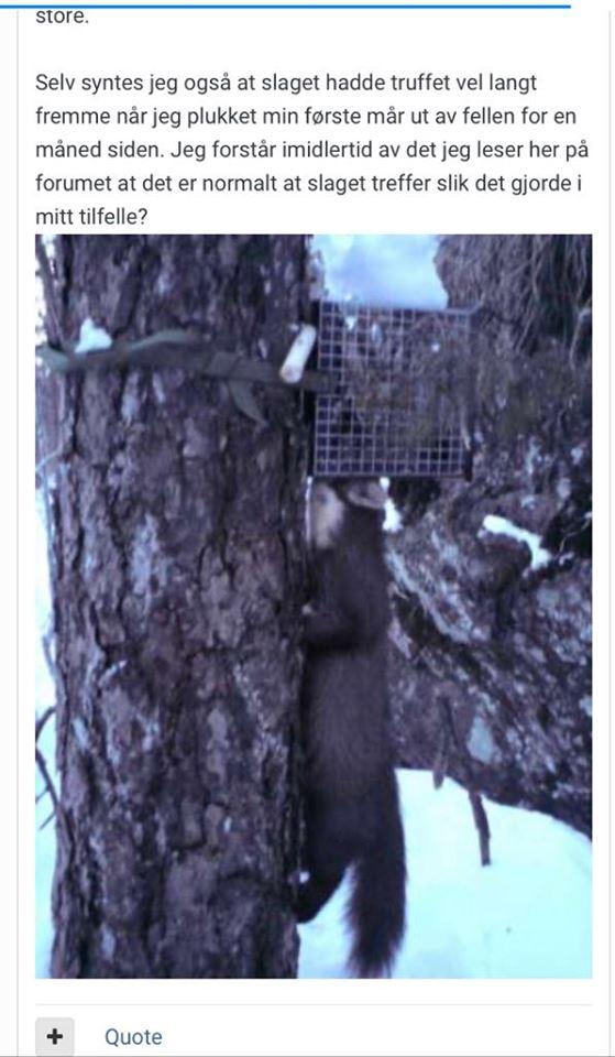 Fellefangst, screenshot, mår som har kjempet i fella og klort opp trestammen