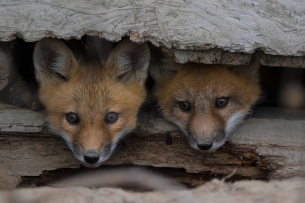 Fox pups looking out under barn hideout